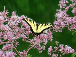 SHIPPED FROM US 160,000 Spotted Joe Pye Weed Seeds, ZG09 - $161.96