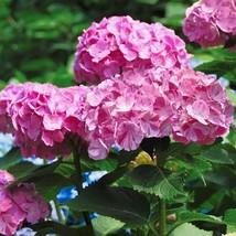 STARTER PLANT - HYDRANGEA 'DANCING ANGELS-SWEET FANTASY' - Gardening - $39.99