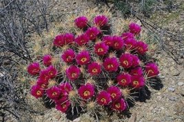 10 Seeds of Echinocereus Enneacanthus Hardy Hedgehog Cactus - $16.83