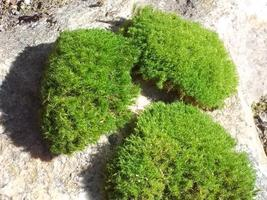 "3 Live Moss Pads for Terrariums Fairy Gardens Miniature 2-4"" - $19.00"