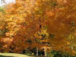 Willow Oak qt pot (quercus phellos) image 1