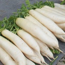 LORRAINE white radish bonsais - high yield , resistance to bolting and good (10p - $8.99