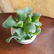 Ripple Jade Succulent in White Ceramic Planter Pot, with Rose Quartz Stones image 5