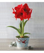 Amaryllis Red  Live Plant Fit 1 Quart Pot - Houseplant - Easy to Grow - $12.19