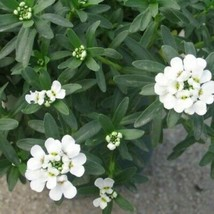 Candytuft Snow White Flower 100 Seeds #UDS14 - $22.17