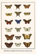 Butterflies, caterpillars, Pearl charaxes, Autumn Leafs, by Albertus Seba - Art  - $19.99+
