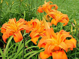 ORANGE DOUBLE BLOOM Daylily 3 fans/root systems image 4