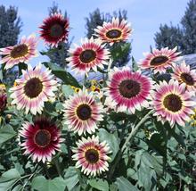 40pcs Beautiful Amaranth Red Light Yellow Sunflowers Seeds Double Flowers - $15.86