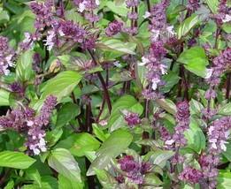 9 Variety Seeds - Cinnamon Basil Ocuum basilicum Seeds #IMA59 - $12.99+