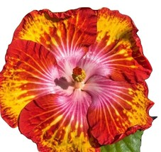 Dinnerplate Hibiscus mustard & ketchup 50 Seeds - $21.99