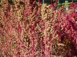 Organic Brilliant Rainbow Quinoa Mix Color Chenopodium Grain 100 Seeds #LCY05 - $14.17