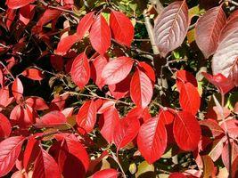 Blackhaw Viburnum qt pot (Viburnum prunifolium) image 4