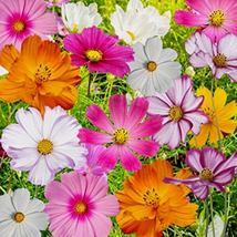 100 Cosmos Mix Flower Seeds Cosmos seeds - $4.99