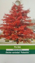 PIN OAK 4-6 FT TREE Live Healthy Shade Trees Plants Shipped To All 50 States USA - $96.95