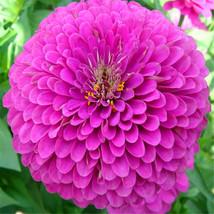 Purple Fireball Zinnia Flower Seeds 50 seeds easy to grow rapid growth pot seeds - $13.05