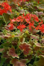 """Live Plant - Vancouver Centennial Geranium 2 1/4"""" Pot - $28.99"""
