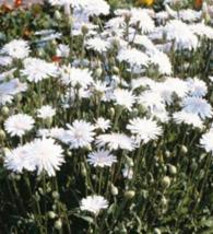 50 Pcs Seeds Hawksbeard Crepis Rubra White Flower -  RK - $6.00