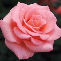 Beautiful Pink Rose Flower 50pcs Seeds #GMS09  - $16.17
