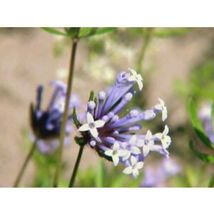 Blue Surprise Woodruff Asperula Flower 20 Seeds #SFB11 - $18.17