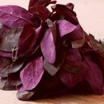 Orach Seeds - Purple- Vegetable  Seeds - Garden - Outdoor Living - FREE SHIPPING - $36.99+