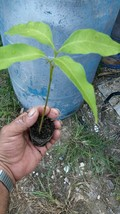 Litchi chinensis Lychee live tree plant fruit Outdoor Living - $67.99