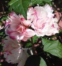 Live Plants Rose Of Sharon Hibiscus Bush Double Pink Flowers Rooted Cutt... - $54.44