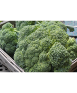 1000 Pcs Seeds Green Sprouting Calabrese Broccoli Italian Vegetable - DL - $16.00
