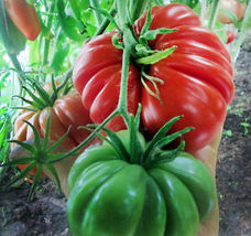 15 Seeds ORGANICALLY GROWN Beauty Lottringa Red Tomato Heirloom NON-GMO ... - $7.99