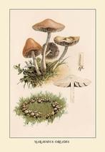 Marasmius Oreades by W. Hamilton Gibson - Art Print - $19.99+