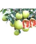 Fruit seeds 10pcs Hardy Mini Pummello Pomelo Pomello tree Dwarf kao Pan ... - $5.94