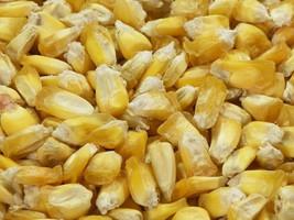 35 Giant Peruvian Popping Corn Seed-1215 - $3.98
