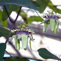 SHIPPED FROM US 10 Passiflora Colinvauxii Vine Seed, BR07 - $35.80