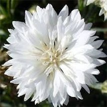 "Non GMO Bulk Cornflower/Bachelor Button Seeds -""Tall White"" Centaurea cyanus (50 - $971.14"