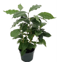 "Arabica Coffee Bean Plant 6"" Pot Grow & Brew Your Own Live Plant - $20.74"