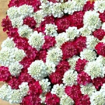 Ship From Us 50 Seeds Iberis Red And White Mix Candytuft,Diy Sb Flower Seeds - $27.99