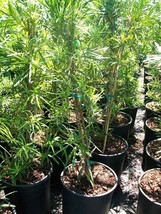 Japanese Yew 3 Gal Plant Large Landscaping Plants Evergreen Shrub Shrubs... - $53.30