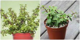 Elephant Bush ~ Portulacaria afra ~ Green Jade Succulent Plants 3-5 Inch... - $12.00