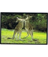 Australia Postcard Eastern Grey Kangaroo Bucks Fighting Bushland - $2.12
