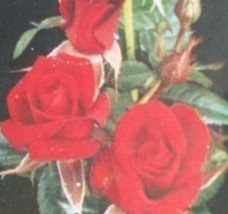 1 Gal. Beauty Secret Med Red Miniature Rose Live Plants Outdoors Garden D08 - $111.99