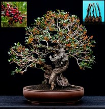 5 Green Pistacia lentiscus Mastic tree Tree Cutting - $42.24