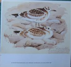 BEAUTIFUL VINTAGE TUNNICLIFFE BIRD PRINT ~ JUVENILE BLACK HEADED GULLS - $39.05