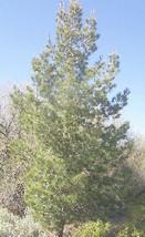 1 Ponderosa Pine Tree (Pinus), Nice 8+inch, Fast Growing Evergreen, Scre... - $18.95