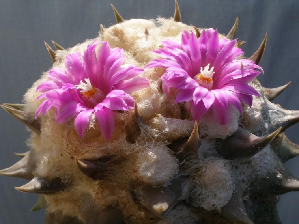 Cereus Hankeanus grafting stock grafted cacti night flower cactus seed 50 SEEDS