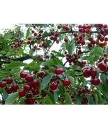 Ship From Us, DWARF FOUR IN ONE CHERRY TREE** 4 VARIETIES * 2-3 FT, P1 - $148.99