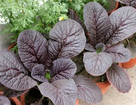 Mustard Red Giant Japanese / Asian Non GMO Heirloom Vegetable Seeds Sow No GMO® - $2.96+