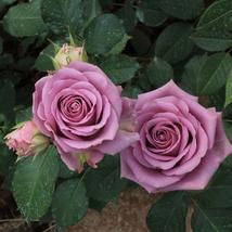 50Purple Chinese Rose Tree Bonsai seed Beautiful yard flower easy to grow pretty - $7.99