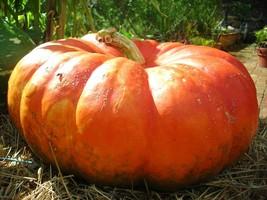 Cinderella pumpkin 10 seeds *Rouge Vif d'Etampes* Heirloom *Non GMO* Com... - $2.99