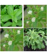 3 Stevia Live Plant, Herb, Culinary Herb, 250 times sweeter than sugar. - $22.22