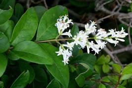 100 Ligustrum vulgare Seeds.Wild privet. Common privet , European privet - $8.95