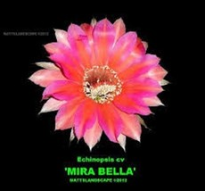 Echinopsis,hybrid,'MIRA BELLA',PLANT,(s),+ Pups,Blooming sized,Cactus,No... - $39.84